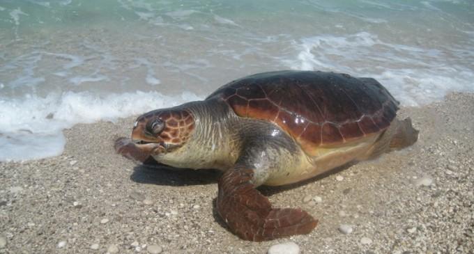Εντοπισμός ζωντανής τραυματισμένης θαλάσσιας χελώνας στη Σαλαμίνα