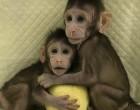 Επιστήμονες κλωνοποίησαν μαϊμού για πρώτη φορά – Επόμενο βήμα ο… άνθρωπος;
