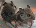 Ποντίκια σε ορόφους του ΑΠΘ! – Ξεκίνησαν μυοκτονίες