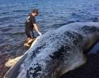 Τριάντα κιλά πλαστικές σακούλες βρήκαν στο στομάχι της φάλαινας στη Σαντορίνη