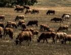Προληπτικά μέτρα στον Έβρο λόγω ασθένειας βοοειδών στην Τουρκία