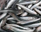 Κατάσχεση ακατάλληλων αλιευμάτων στον Πειραιά
