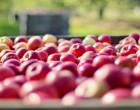 Δέσμευσαν πάνω από 1 τόνο ακατάλληλα μήλα από Ουκρανία