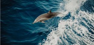 Δελφίνια στον Θερμαϊκό: Το ευχάριστο… διάλειμμα από τον κορωνοϊό