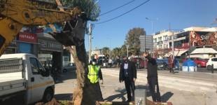 Μεταφύτευση αιωνόβιων δέντρων στο Αιγάλεω (φωτο)