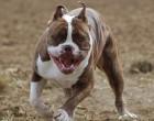 Άντρας σκότωσε με μαχαίρι δυο πίτμπουλ που επιτέθηκαν στο σκύλο του