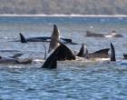 Αυστραλία: Αριθμός ρεκόρ 470 φαλαινών-πιλότων έχουν εξωκείλει στις ακτές της Τασμανίας