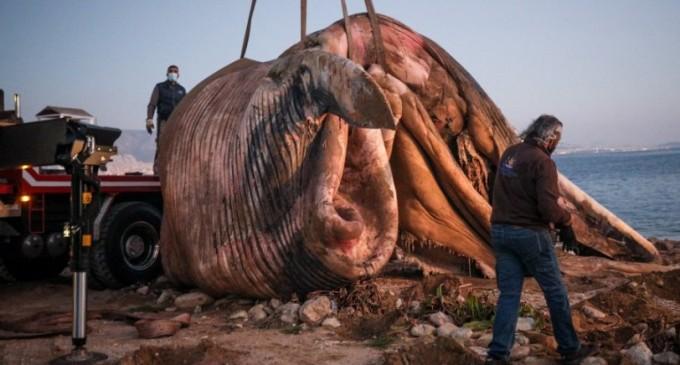 Νεκρή φάλαινα εντοπίστηκε στον Πειραιά (φωτο)