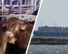 Elbeik: Θρίλερ με την «κιβωτό του θανάτου» που βρίσκεται στην Ελλάδα -Υγειονομική βόμβα με 1.780 βοειδή