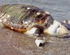 Νεκρές θαλάσσιες χελώνες «καρέτα – καρέτα» σε Πειραιά και Αίγινα